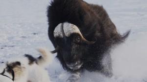 Angriff eines Moschusochsen in Grönland